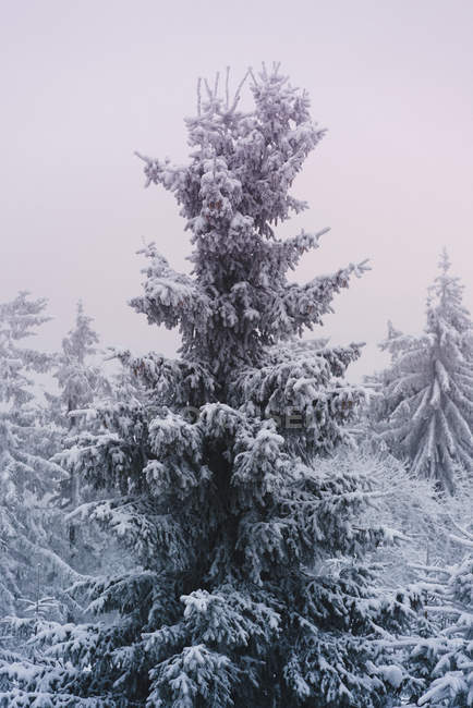 Low angle view of snow covered trees — Stock Photo