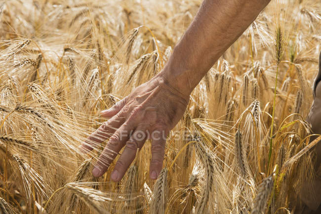 Crop male hand touching wheat crops at farm — Stock Photo