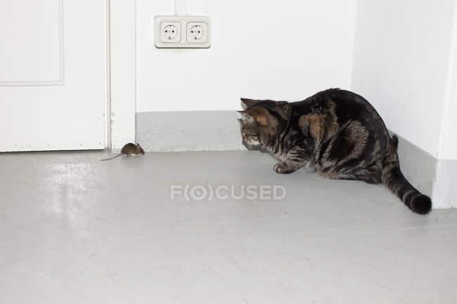 Chat et souris face à face dans le coin de la pièce — Photo de stock