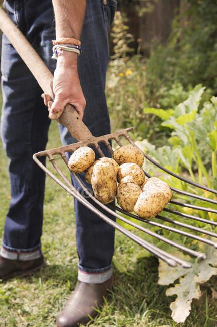 Baixa seção de homem com batatas em garfo de jardinagem no jardim — Fotografia de Stock