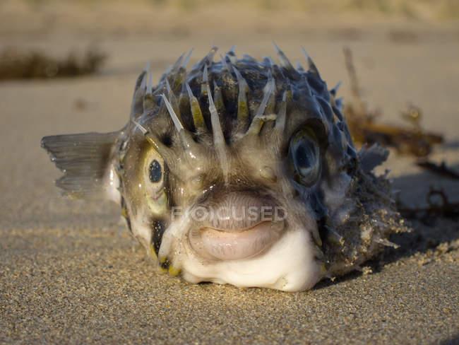 Vue rapprochée du baudroie couché sur le sable — Photo de stock
