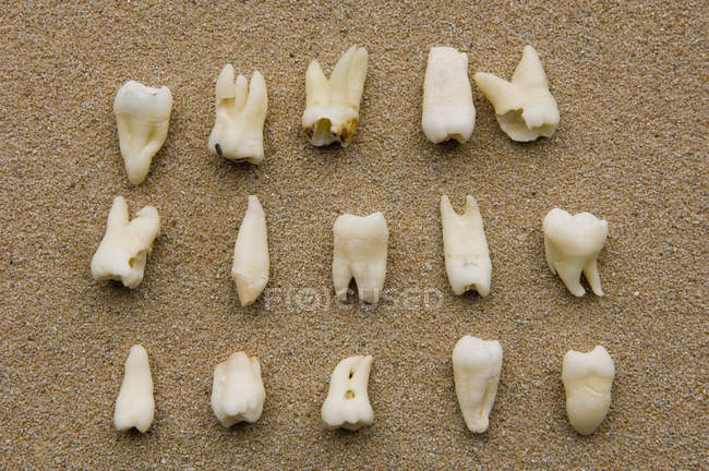 Rows of medical teeth samples on beige background — Stock Photo