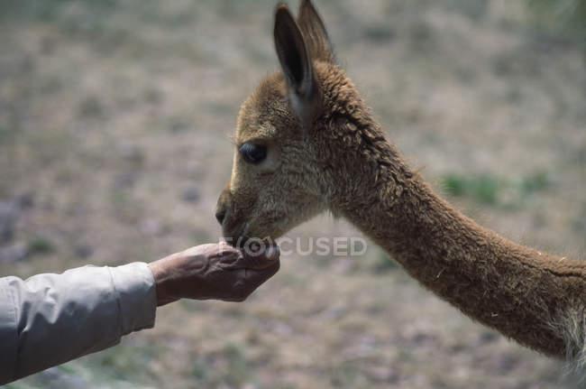 Урожай мужской стороны кормления ламы на природе — стоковое фото