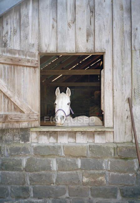 Белая лошадь высунула голову из конюшни — стоковое фото