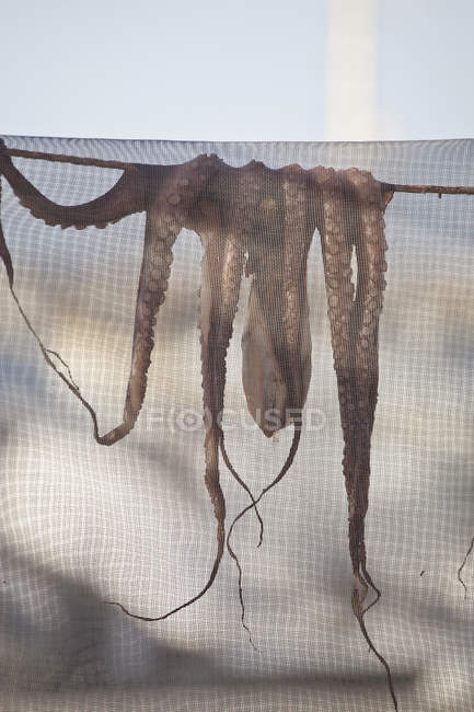 Close up view of octopus drying under net — Stock Photo