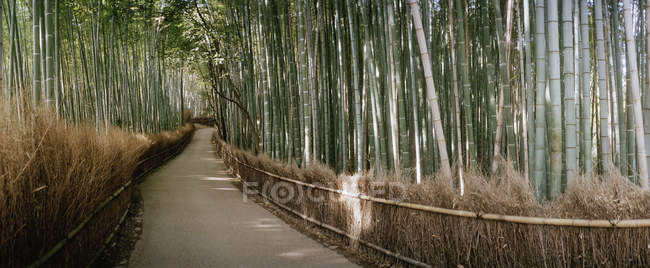 Panorama of pathway through a bamboo grove — Stock Photo