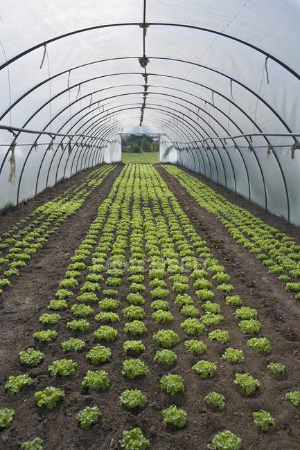 Rows of vegetables planted in greenhouse — Stock Photo