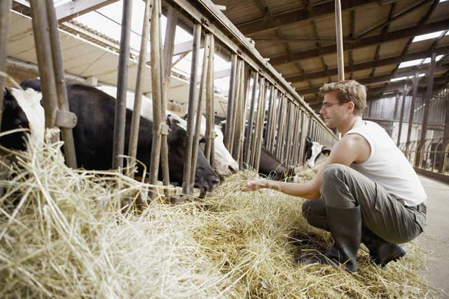 Ouvrier agricole, alimentation des vaches avec le foin dans la grange — Photo de stock