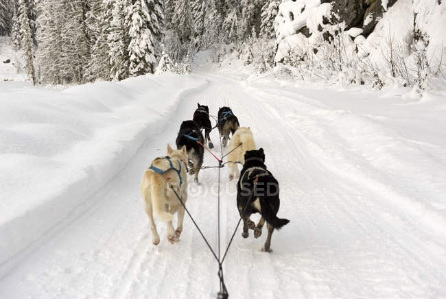 Rear view of dogs pulling sled through snow road — Stock Photo
