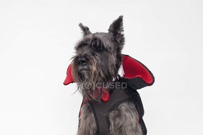 Schnauzer wearing Count Dracula cape costume — Stock Photo