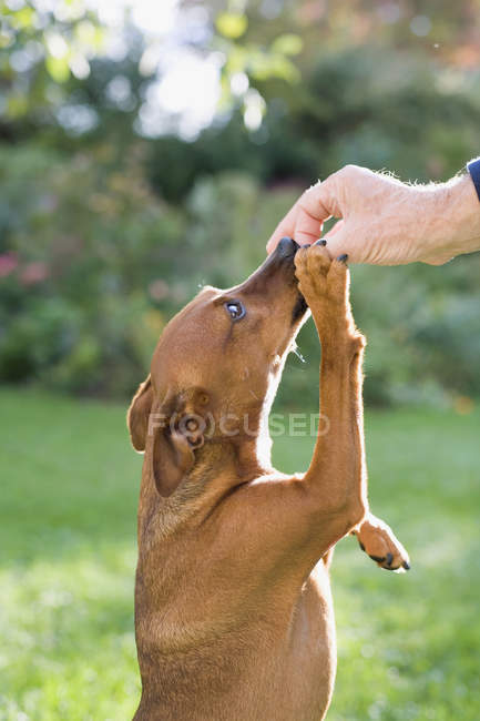 Dog reaching to eat food from owner hand — Stock Photo