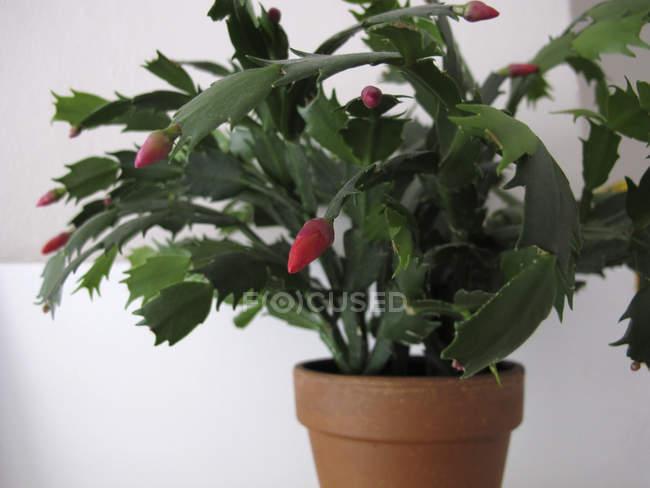Nahaufnahme der eingemachten Weihnachtskaktus Pflanze auf weißem Hintergrund — Stockfoto
