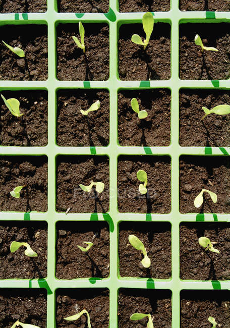 Directly above view to tray of seedlings — Stock Photo