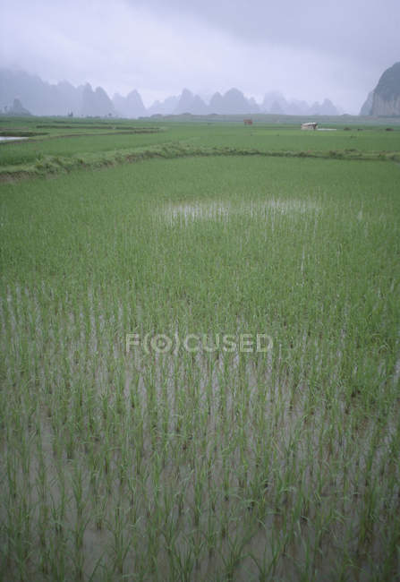 Flooded rice paddy fields with mountains in distance — Stock Photo