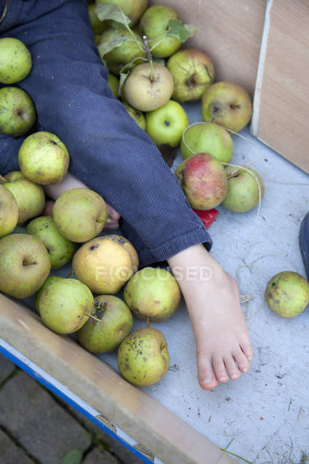 Crop child leg among apples in  cart — Stock Photo