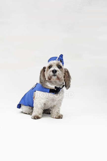 Shorty Jack Russell Terrier wearing retro air stewardess costume — Stock Photo