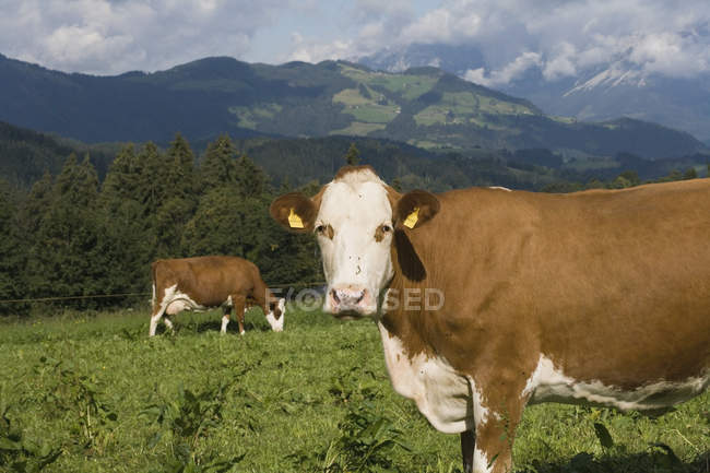 Two cows grazing in countryside field — Stock Photo