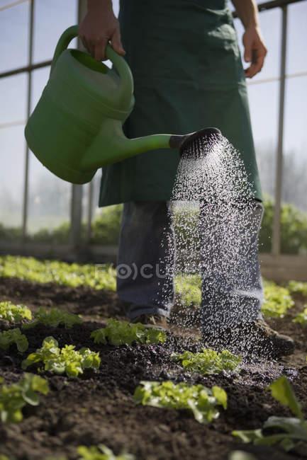 Lavoratore di contadino raccolto irrigazione lattuga in serra — Foto stock