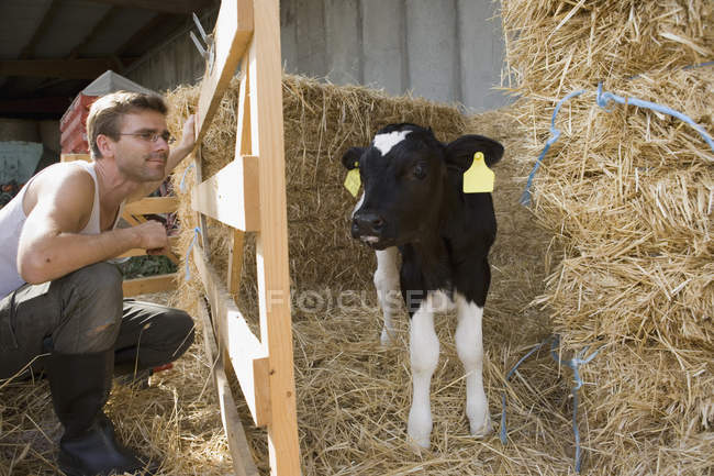 Bauarbeiter schaut sich Kalb im Stall an — Stockfoto