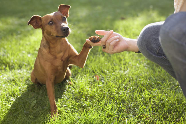 Dog touching female hand with paw on sunlit grass — Stock Photo