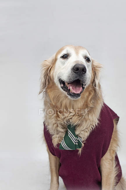 Golden retriever wearing tie and sweater vest on grey backdrop — Stock Photo