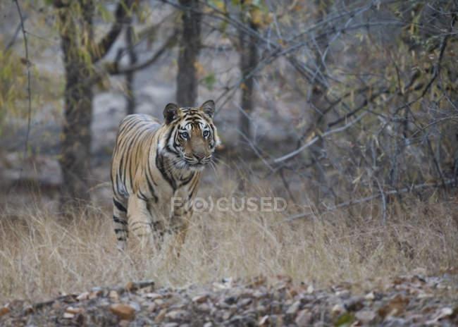 Tigre dans l'habitat naturel — Photo de stock