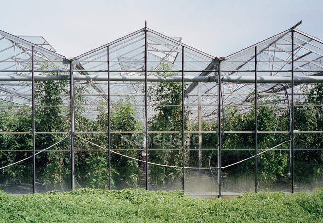 Crops growing inside greenhouse at farmland — Stock Photo