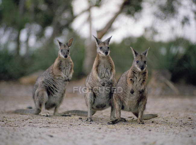 Three wallabies standing side by side at nature — Stock Photo