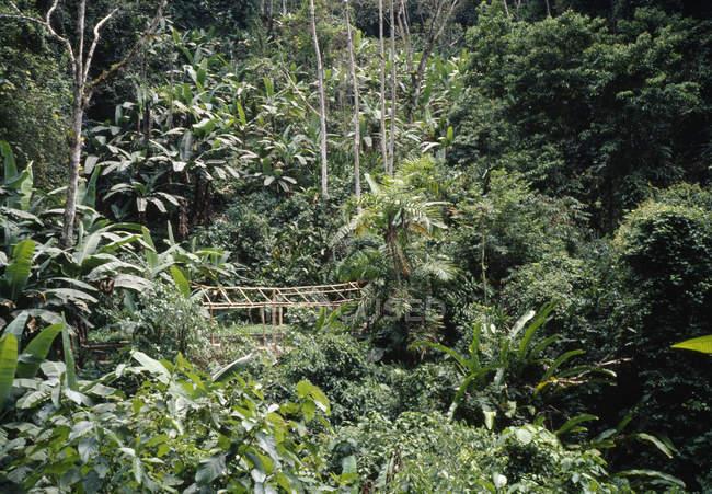 Lush foliage in rainforest with bamboo boardwalk — Stock Photo