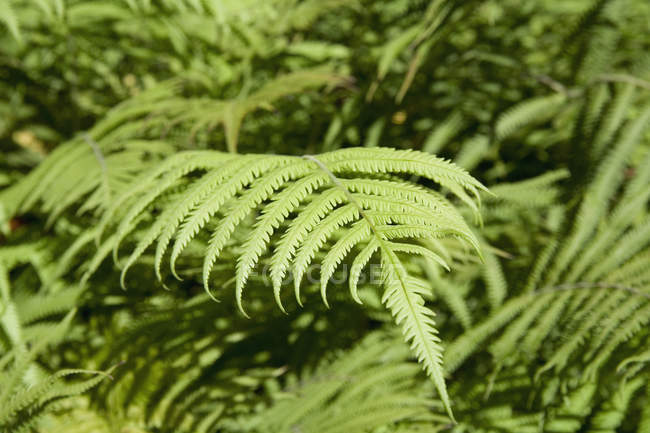 Full frame shot of lush foliage of ferns — Stock Photo