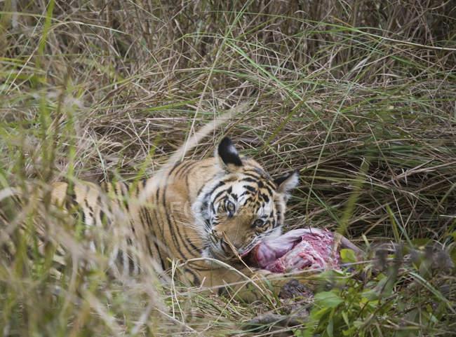 Тигр, лежа на траве и кормления на убийство — стоковое фото
