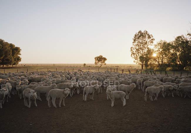 Schafherde auf dem Bauernhof bei Sonnenuntergang — Stockfoto