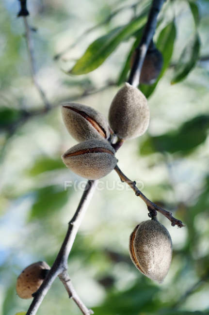 Close up view of nuts growing on tree — Stock Photo