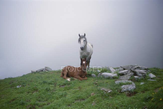 Zwei Pferde auf Berg Felsvorsprung auf Grund von Nebel — Stockfoto