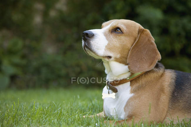 Side view of beagle lying on grass — Stock Photo