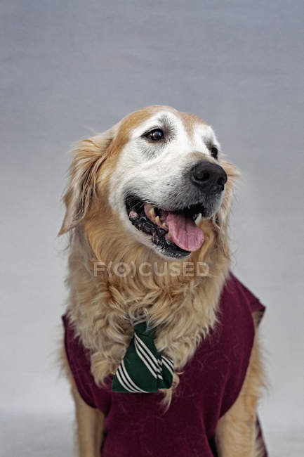 Golden retriever porte cravate et pull gilet — Photo de stock