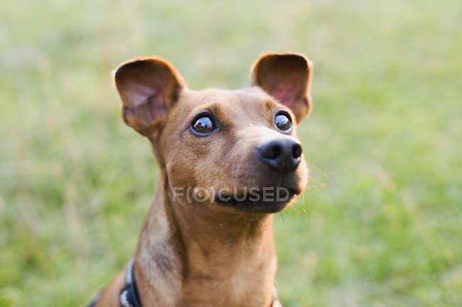 Close up de cães cabeça olhando para longe natire — Fotografia de Stock