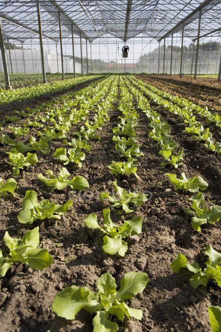 Rows of lettuce growing in greenhouse — Stock Photo