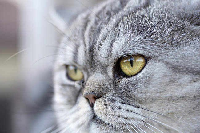 Portrait of gray domestic cat looking away curiously — Stock Photo