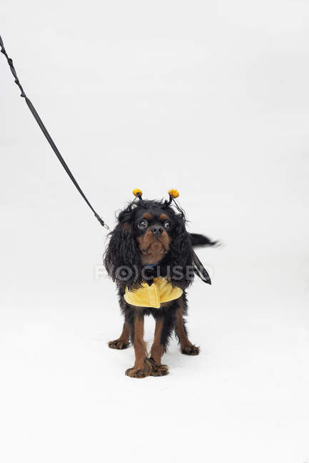 Small Spaniel in bee costume posing on white backdrop — Stock Photo
