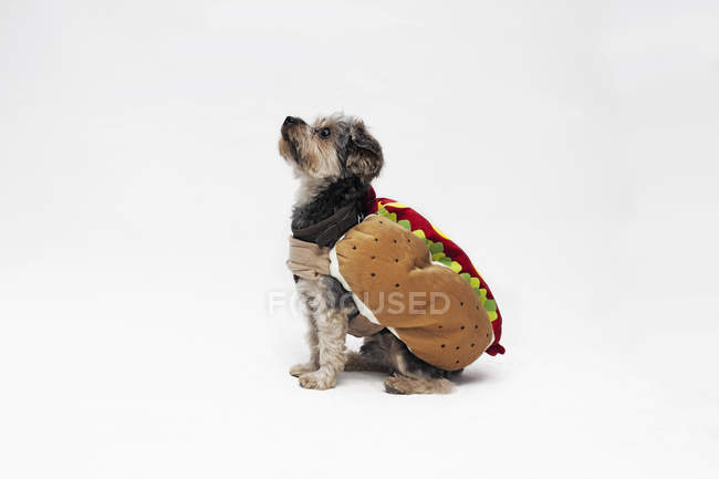 Yorkie wearing hotdog costume on white background — Stock Photo