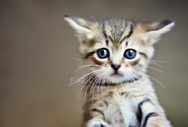 Porträt eines kleinen gestromten Kätzchens vor verschwommenem Hintergrund — Stockfoto
