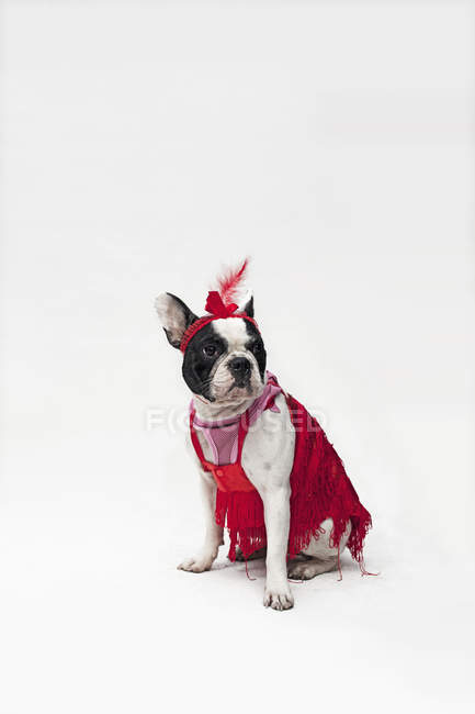 French Bulldog in red flapper costume on white backdrop — Stock Photo