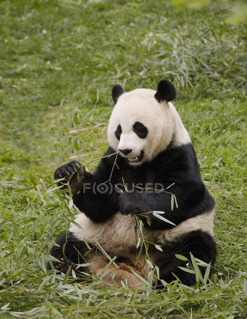 Panda seduta sul pendio e mangiare foglie — Foto stock