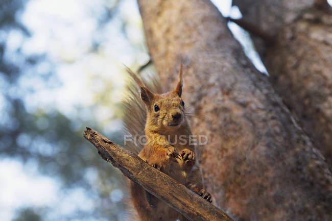 Esquilo empoleirar-se no ramo de árvore — Fotografia de Stock