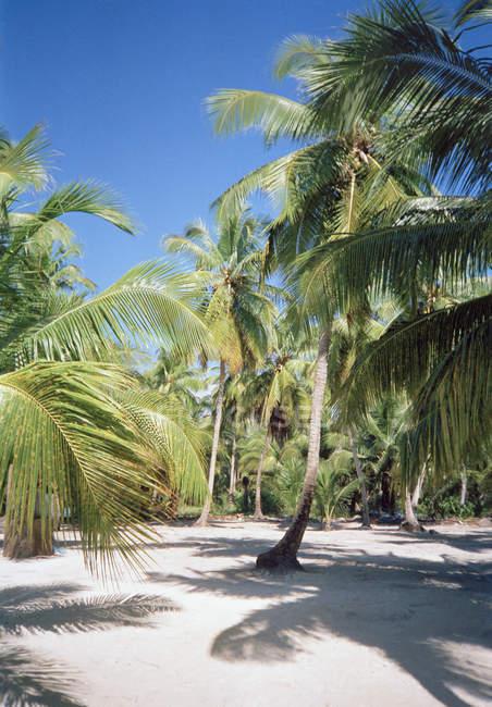 Foresta di palme tropicali alla spiaggia soleggiata — Foto stock