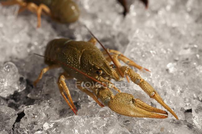 Крупным планом вид омаров на льду — стоковое фото