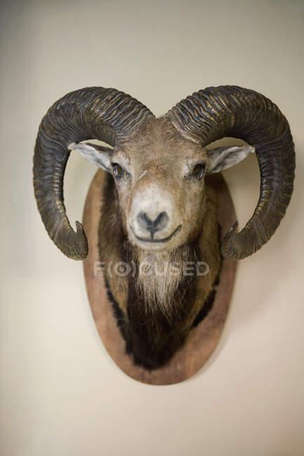 Stuffed Head Of Bighorn Sheep Hanging On Wall Single Object