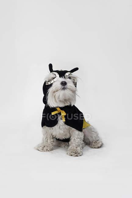 White mixed breed dog wearing superhero mask and cape over white — Stock Photo