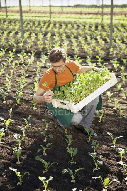 Uomo in grembiule raccolta delle colture in serra — Foto stock
